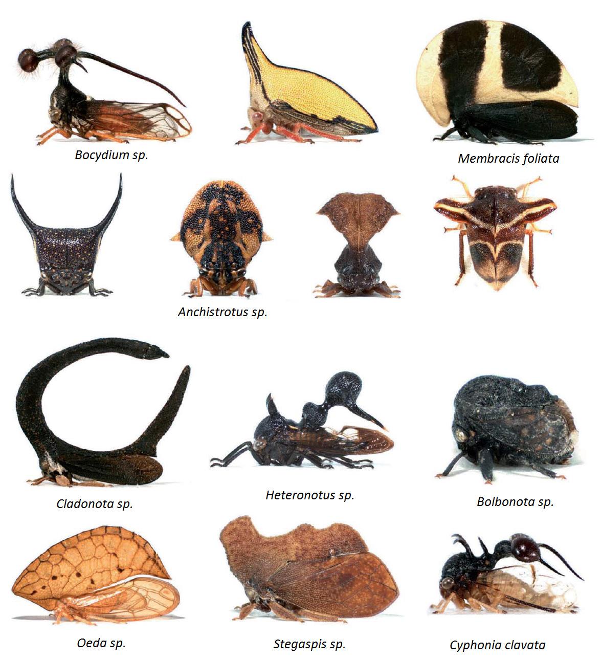 Шлем горбаток развивается под контролем генов, ответственных за развитие крыльев