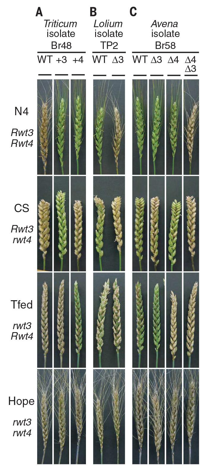 Рис. 2. Результаты экспериментов по заражению разными штаммами гриба P. oryzae колосьев пшеницы