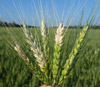 Генетики выяснили происхождение новой болезни пшеницы
