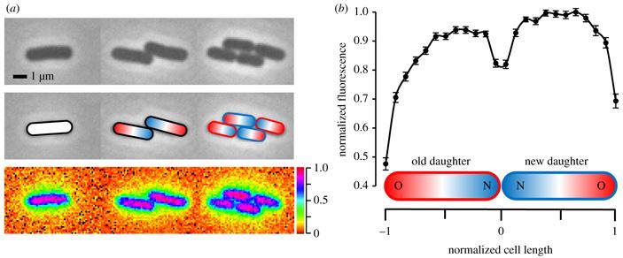 Предложена универсальная модель старения одноклеточных организмов