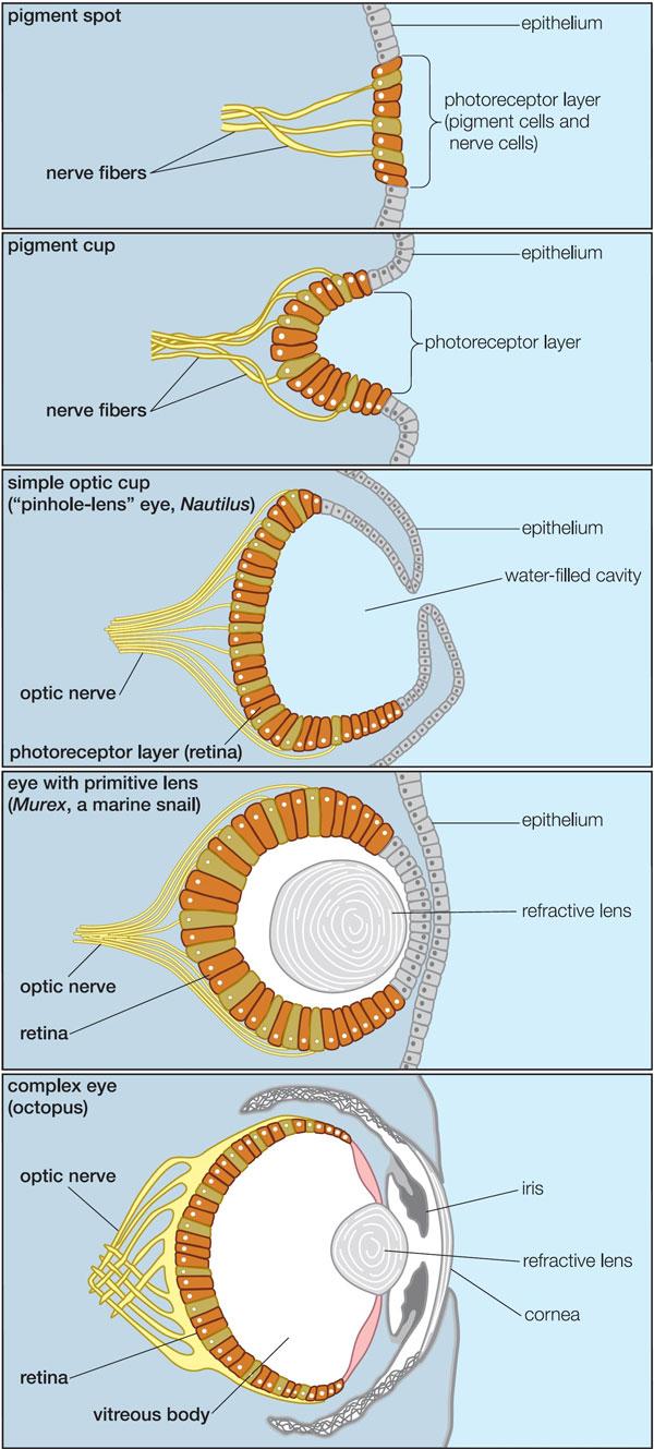 Схема строения глаз современных  моллюсков разной степени сложности— от простейшего  светочувствительного пятна (унекоторых брюхоногих; вверху) до  глаза, сравнимого посложности и сходного построению  счеловеческим (уосьминога; внизу)—  наглядно показывает несостоятельность утверждений креационистов, будто  такие сложные структуры, как глаза, не могли возникнуть постепенно,  азначит, были сотворены такими, каковы они есть. Иллюстрация  из обсуждаемой книги