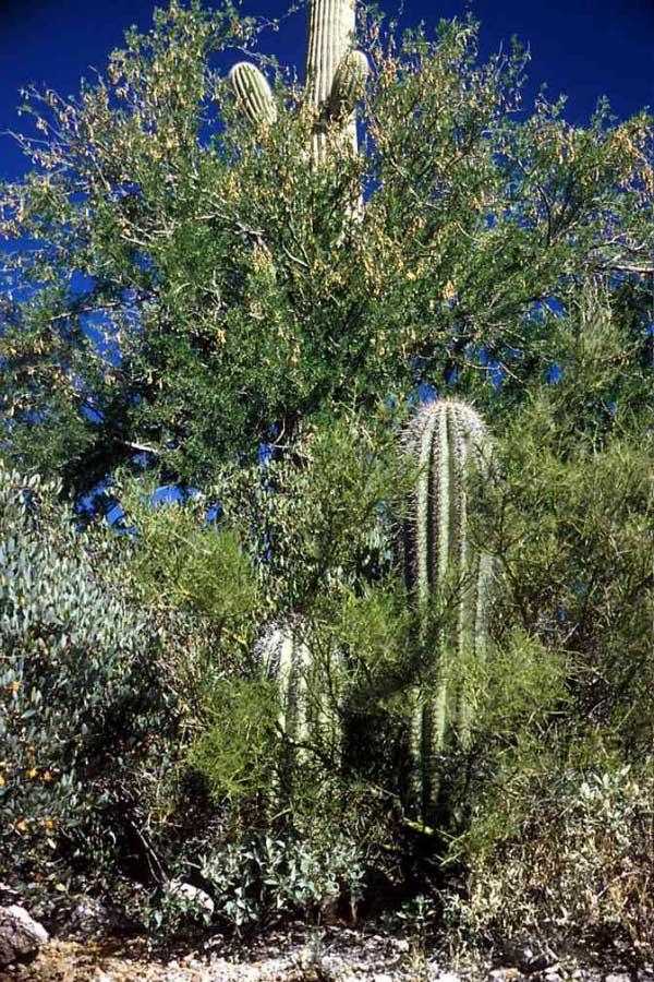 Целое скопление растений-нянь и их «подопечных» вСонорской пустыне вАризоне (район Тусонских гор). Железное дерево Olneya tesota своей кроной дало приют «зеленому дереву» Cercidium microphyllum (на переднем плане), а оно, в свою очередь, является няней для проростков кактуса сагуаро (Carnegia gigantea). Впрочем, скоро кактусы перерастут своих нянь. Фото с сайта www.desertmuseum.org