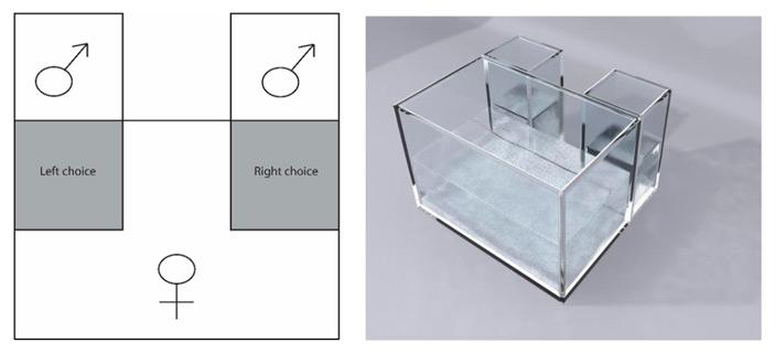 Рис. 2. Аквариум для оценки половой избирательности самок