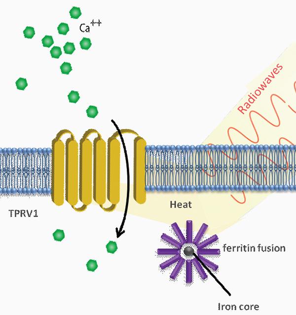 Рис. 3. Схема работы методики с эндогенными наночастицами.  Ферритиновые частицы, нагреваясь от радиоизлучения...