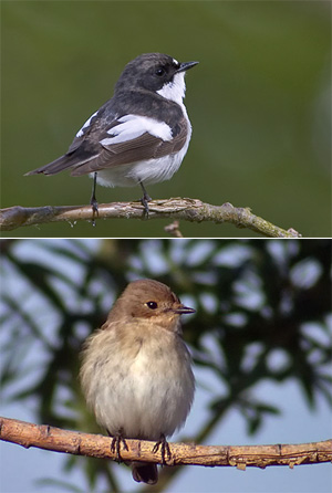 Мухоловка-пеструшка (вверху самец, внизу самка). ©Lasse Olsson; фото с сайта www.birding.se