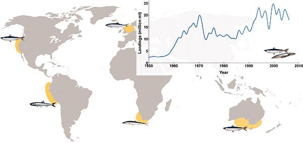 Рис.3. Карта с обозначенными районами исследований. Слева направо: район Калифорнийского апвеллинга, район Перуанского апвеллинга, Северное море, район Бенгельского апвеллинга, юго-восточная Австралия. На врезке— мировой вылов мелкой пелагической рыбы и кальмаров, основного ресурса для высших трофических уровней. Рис. из обсуждаемой статьи в Science