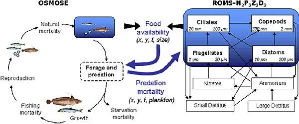 Рис.4. Схема работы модели OSMOSE. Справа— блок для расчета количества доступной пищи для планктонофагов (модель ROMS). Слева— блок динамики численности рыбы. Рис. с сайта www.meece.eu