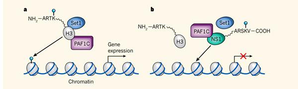 Механизм работы гистона в норме и при заражении организма вирусом гриппа А H3N2