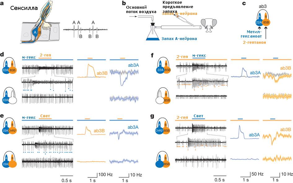 Нейрон рецепторный фото