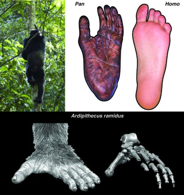 Ступни современных человекообразных обезьян специализированы для эффективного лазанья и хватания за ветки, они очень гибкие и плохо приспособлены для ходьбы по земле. Слева вверху: шимпанзе лезет на дерево; справа вверху: ступня шимпанзе и человека. Уардипитека в строении ступни (внизу) наблюдается мозаика признаков, свидетельствующих о сохранении способности хвататься за ветки (противопоставленный большой палец) и одновременно— об эффективном двуногом хождении (более жесткий, чем у человекообразных обезьян, свод стопы). Потомки ардипитеков— австралопитеки— утратили способность хвататься ногами за ветки и приобрели почти совсем человеческое строение стопы. Изображение из статьи Lovejoy etal. Combining Prehension and Propulsion: The Foot of Ardipithecus ramidus