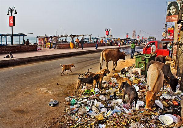 Индия бьет мировые рекорды поколичеству бродячих собак вгородах
