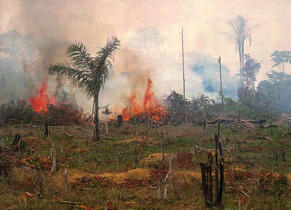 На сегодняшний день главную угрозу существованию амазонских лесов представляет прямое их уничтожение человеком. Люди вырубают и выжигают тропический лес, чтобы расширить свои сельскохозяйственные угодья (наснимке). Вдальнейшем, однако, гибель амазонских лесов может резко ускориться из-за глобальных климатических изменений. (Фото с сайта earthobservatory.nasa.gov)