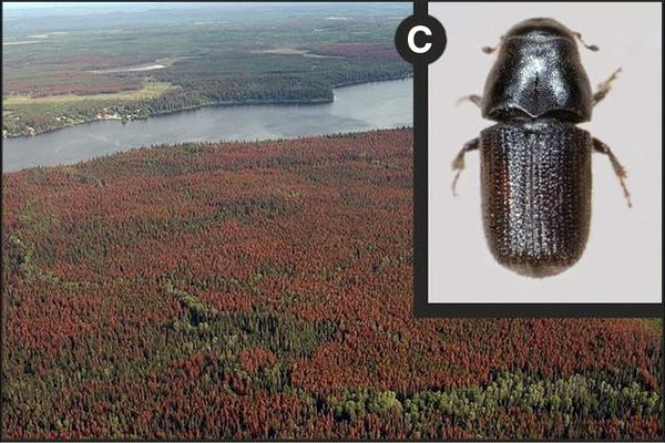 Пятна мертвых деревьев в западной Канаде, погибших из-за нашествия лубоедов Dendroctonus ponderosae