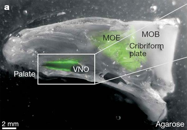 Изготовленный из мышиной головы препарат, на котором изучалась работа обонятельных рецепторов. Обонятельный эпителий вырабатывает зеленый флуоресцирующий белок. Palate— нёбо, VNO— вомероназальный орган, MOE— главный обонятельный эпителий, MOB— главная обонятельная луковица (отдел мозга, обрабатывающий сигналы от MOE), Cribriform plate— решетчатая кость. Изображение из обсуждаемой статьи вNature