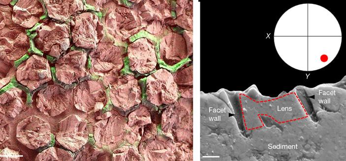 Палеоэнтомологи усомнились вуникальности глаз трилобитов
