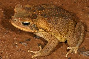 Элементы - новости науки: Ядовитые жабы оккупируют Австралию