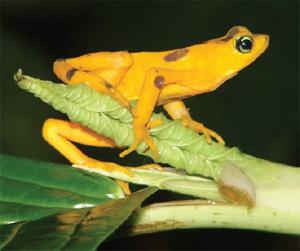 67% видов американских лягушек-арлекинов уже вымерли. Эта, желтенькая, еще жива (фото из журнала Nature)