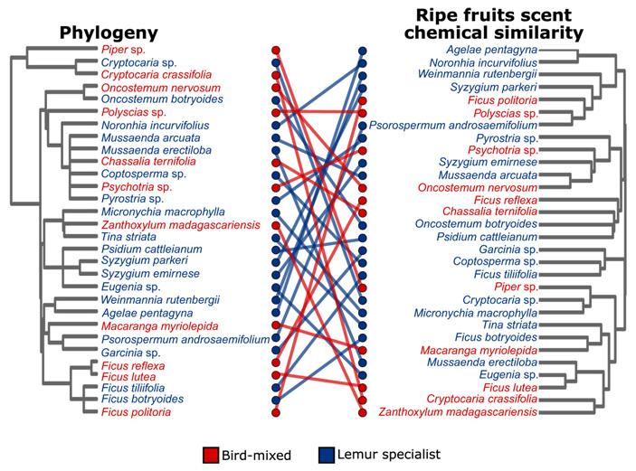 Рис. 3. Эволюционное дерево 30 изученных видов и дендрограмма сходства тех же видов по запаху спелых плодов
