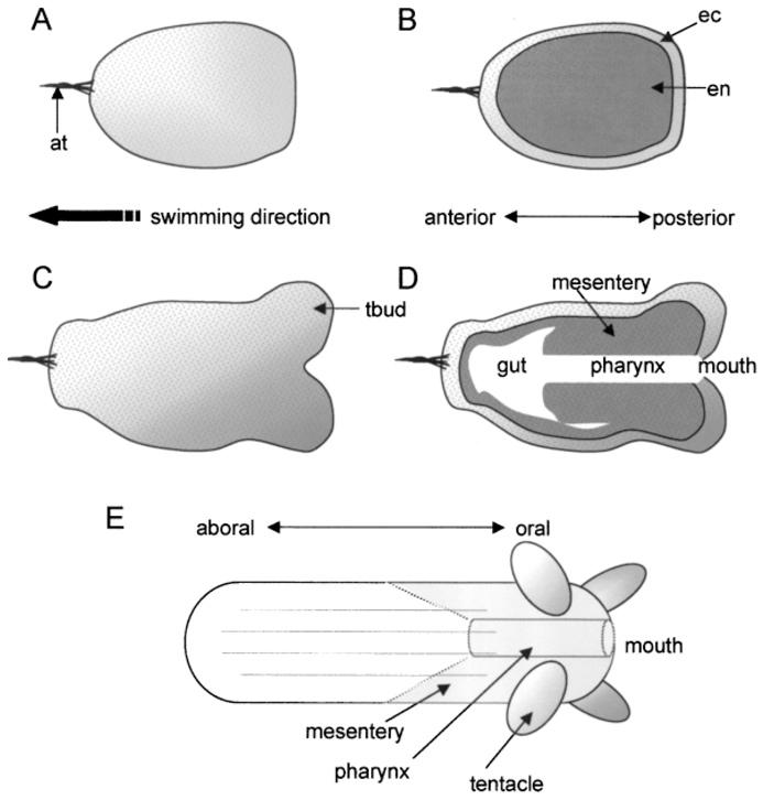 Один и тот же нейромедиатор тормозит образование нервных клеток и умлекопитающих, и уактиний