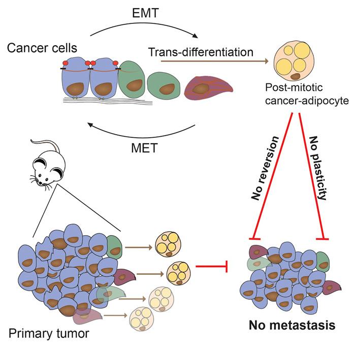 Дифференцировка раковых клеток вадипоциты