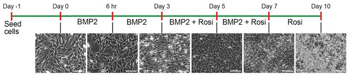 Рис. 2. Протокол терапии при помощи росиглитазона и BMP2