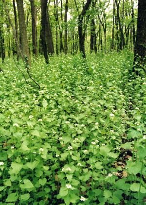 Чесночная горчица Alliaria petiolata, заполонившая североамериканские леса, препятствует развитию симбиотических грибов, необходимых для роста молодых деревьев (©Courtesy of Elisabeth J. Czarapata; фото с сайта www.ipaw.org)