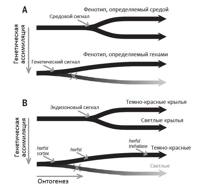 Генетические основы эволюции фенотипической пластичности начинают проясняться