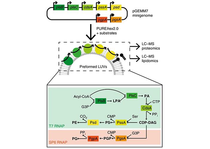 Рис. 2. Синтез фосфолипидов с помощью ферментов, закодированных в мини-геноме искусственной клетки