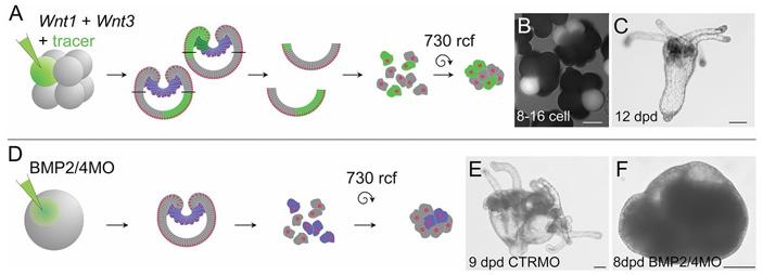 Рис. 5. Роль генов Wnt в организации развития эмбриона