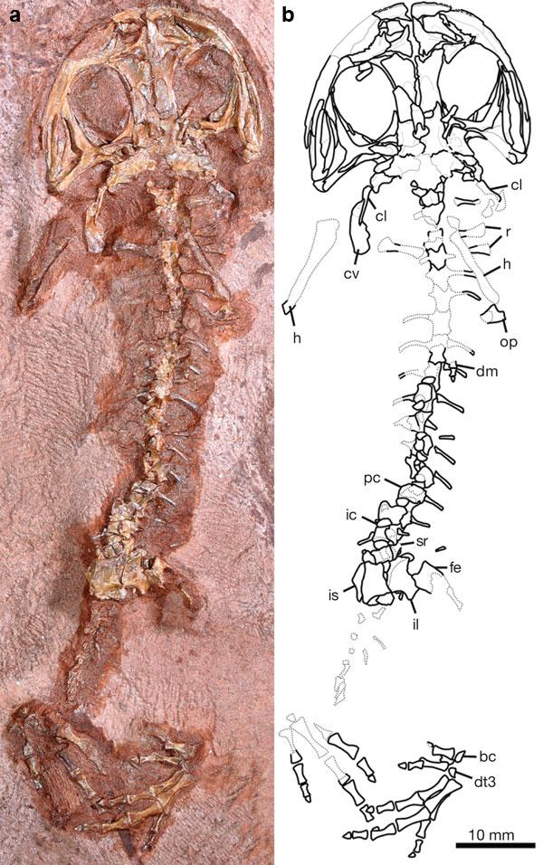 Переходный? статус геробатрахуса подтверждается строением всех частей скелета: черепа, позвоночника, поясов...
