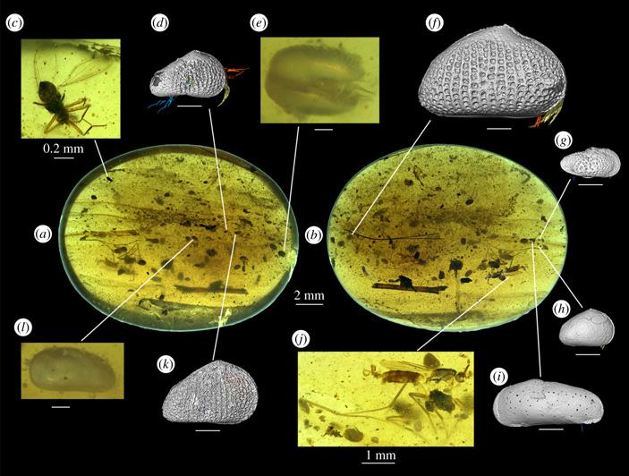 Репродуктивная система остракод не изменилась за сто миллионов лет