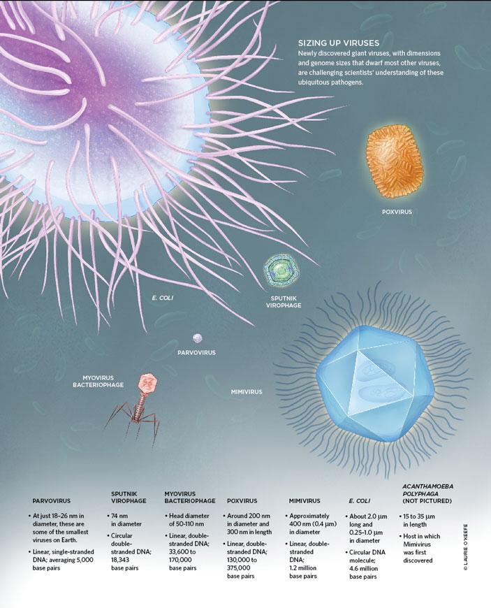 Относительные размеры вирусов