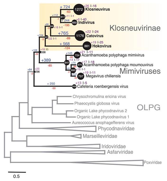 Рис. 3. Эволюционное дерево крупных ядерно-цитоплазматических ДНК-содержащих вирусов