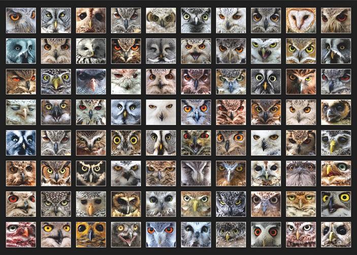 Рис. 2. Разнообразие глаз сов.
