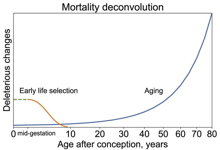 Рис. 2. Признаки старения и вызванную ими смертность можно обнаружить еще в самом начале эмбрионального развития