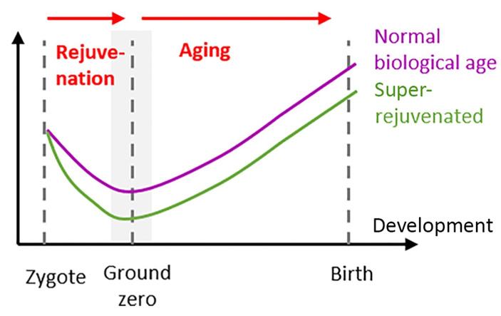 Рис. 7. Если в начале развития организма происходит омоложение