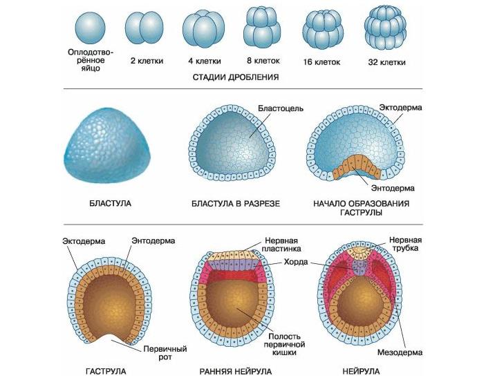 Рис. 2. Ранние стадии эмбрионального развития