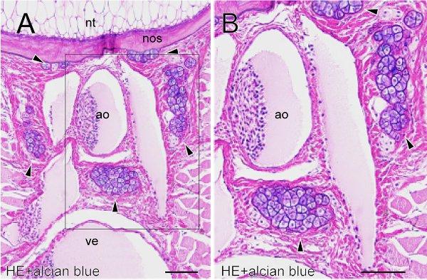 Рис.2. Поперечный срез тела взрослого пиявкорота, область под хордой