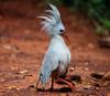 Птицы кагу научились выживать на почвах, загрязненных тяжелыми металлами