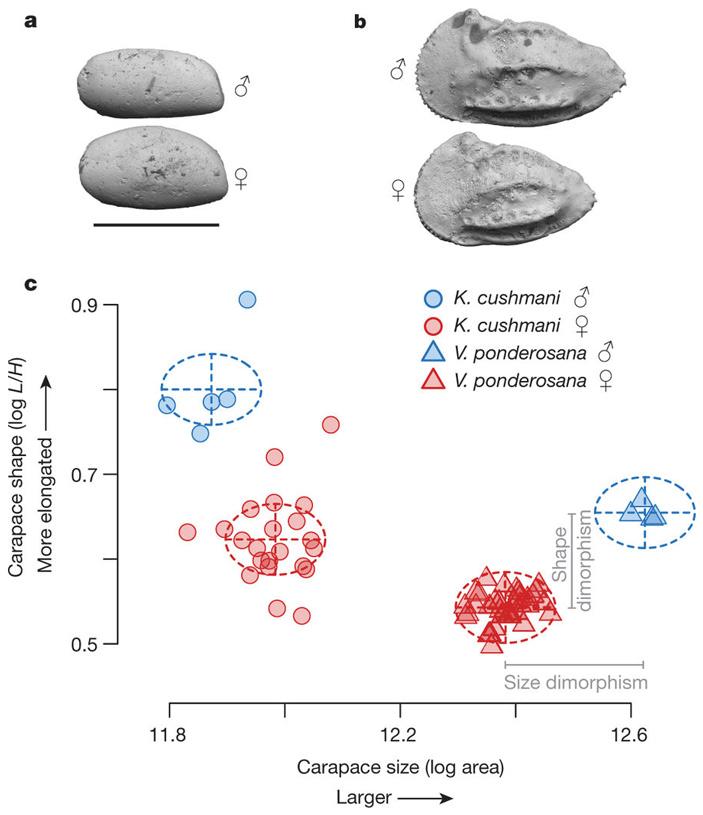 Рис. 2. Половой диморфизм у двух видов позднемеловых цитероидных остракод