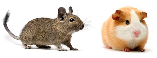 Дегу и морские свинки менее забывчивы, чем мыши