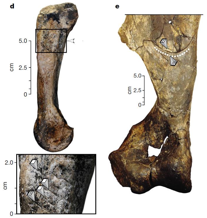 Рис. 3. Пястная кость носорога с параллельными прямыми царапинами от каменных орудий
