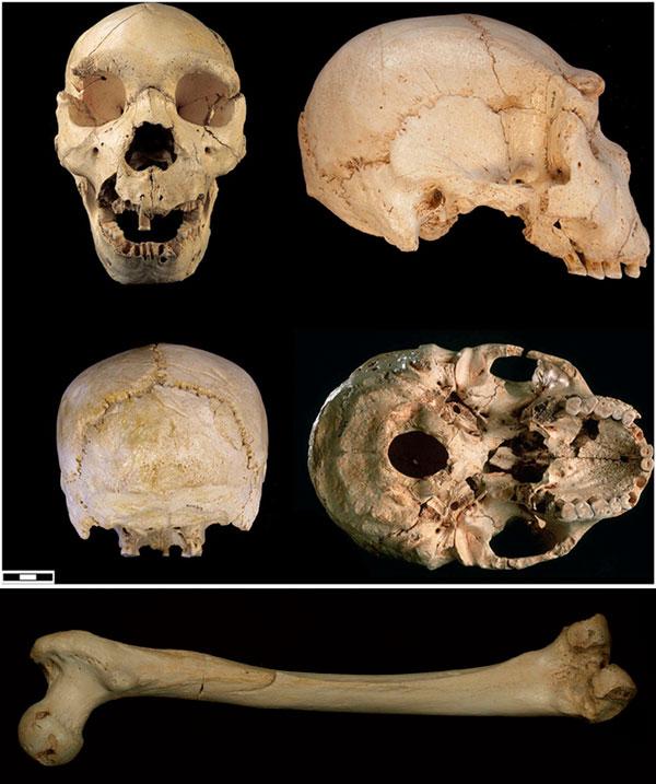 Череп №5 из Сима де лос Уэсос и бедренная кость, из которой была извлечена ДНК