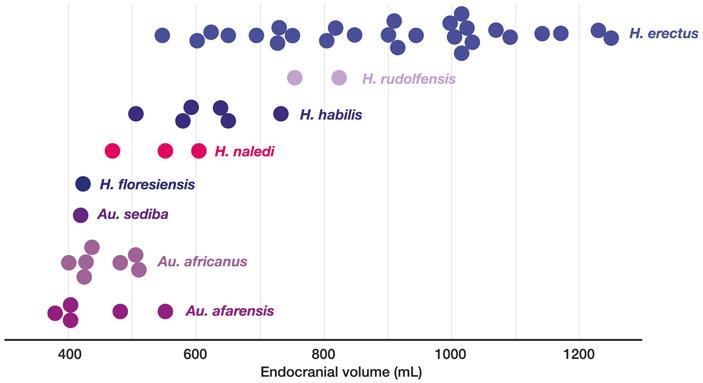 Рис. 2. Объем эндокрана Homo naledi по сравнению с другими гоминидами
