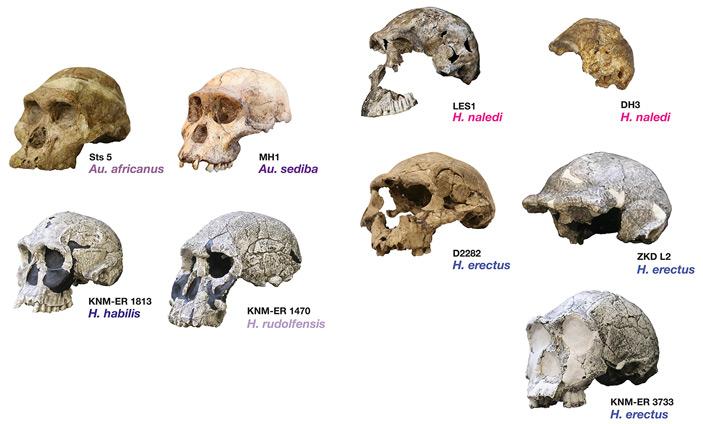 Рис. 3. Черепа австралопитеков и четырех ископаемых видов Homo, включая H. naledi