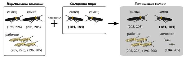 Пример слияния нормальной колонии и самцовой пары у термитов