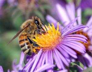 Чтобы находить больше нектара, пчелы должны постоянно учиться и иметь хорошую память. Фото ссайта www.solutions-site.org