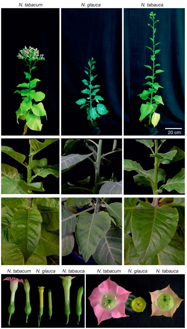 Рис. 1. Табак Nicotiana tabacum, табачное дерево N. glauca и их аллополиплоидный потомок N. tabauca