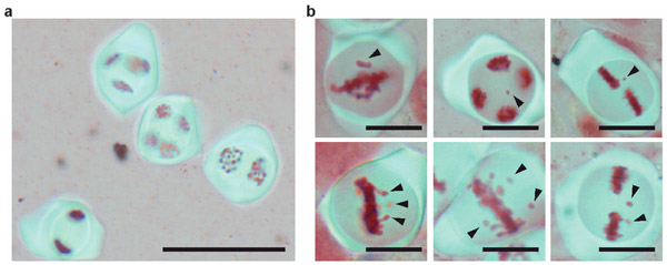 Рис. 2. Мейоз материнских клеток пыльцы у обычного и аутотетраплоидного табака