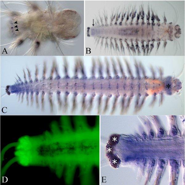 Фотография червя Alitta (Nereis)virens с флуоресцентными метками, показывающими область экспрессии одного из Hox-генов (в данном случае гена Lox4)
